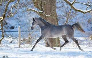 Бег лошадей рысью