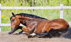 Температура тела лошадей