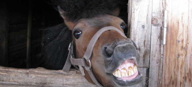 Количество зубов у лошадей