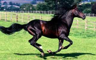 Караковая масть лошадей