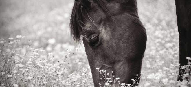 Случная болезнь у лошадей