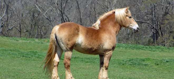 Бельгийская лошадь