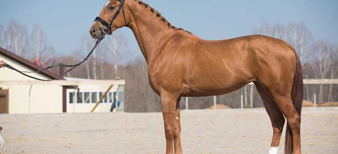 Вестфальская порода лошадей