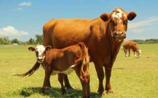 Какую купить говядину, что бы получить самый вкусный стейк