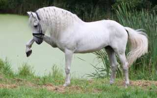 Лошади породы морган