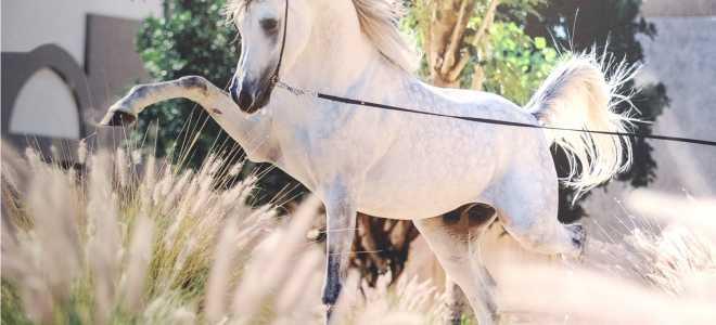 Лошади иноходцы