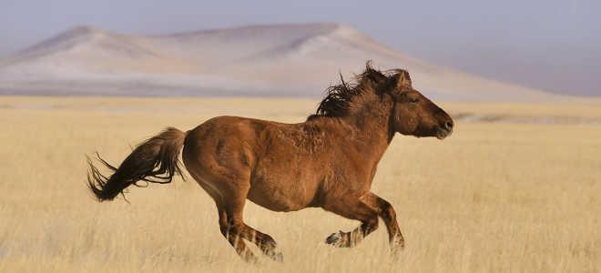 Монгольская порода лошадей