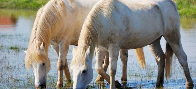 Лошади породы камаргу