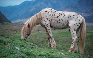 Лошади чубарой масти