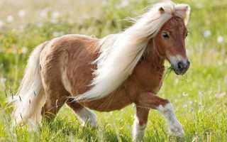Дартмурский Пони