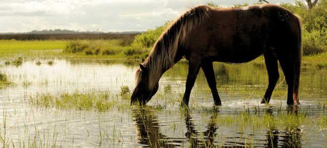 Каспийская порода лошадей