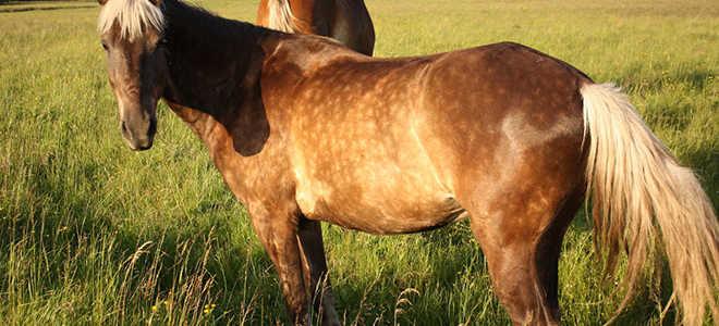 Масть лошадей кони в яблоках