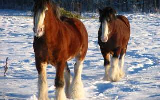 Лошадь тяжеловоз