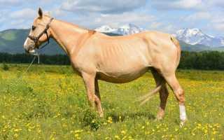 Игреневая масть лошади