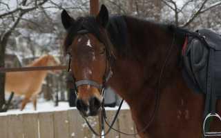 Лошадь белорусская упряжная