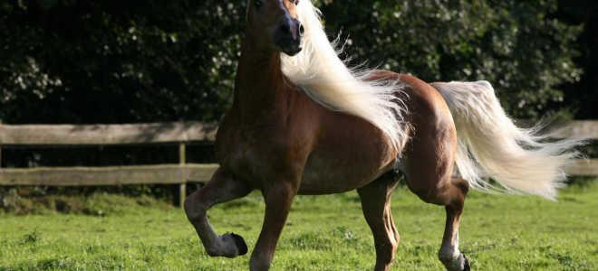 Порода лошадей французский сель