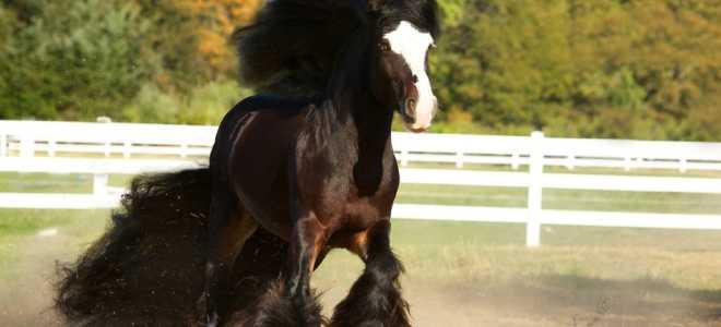 Лошади цыганской породы