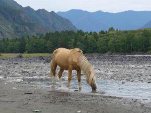 Якутская лошадь с алтая