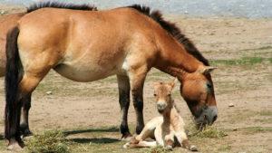 Лошадь и жеребенок Пржевальского