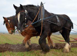 Лошади клейдесдаль