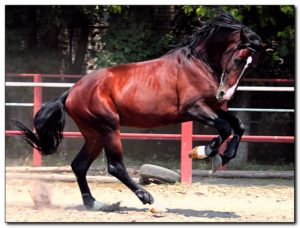 Берберийский конь