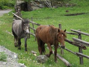Алтай лошади