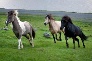 Кони исландской породы