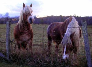 Брабансон лошадь