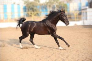Лошадь породы марвари