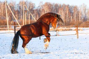 Владимирский конь