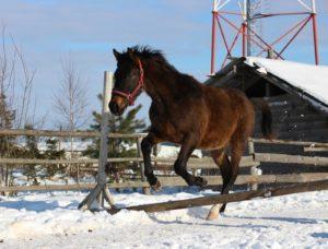 Тракененский конь