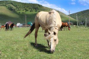 Питание башкирской лошади