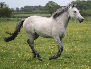Серый буланый конь