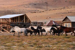 Лошади алтайские