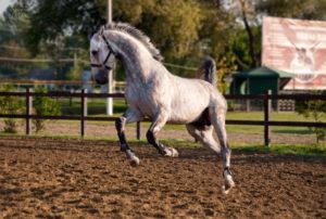 Конь ольденбургской породы