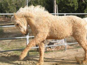 Забайкальский конь