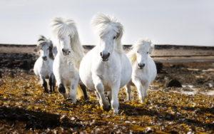 Породы белых лошадей