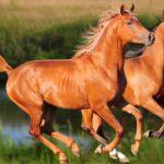 Арабские лошади: фото, история, характеристика, типы лошадей, уход, скачки, стоимость