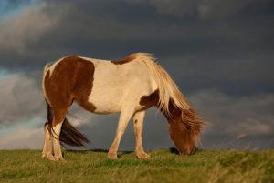 Исландская порода лошади