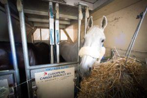 Кормление лошадей перед переездом