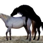 Естественное спаривание лошадей