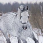 Лошадь серой масти с белой гривой и хвостом