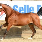 Конь породы французский сель бежит