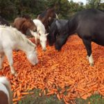 Лошадям полезна морковь