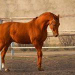 Буденновская порода лошади