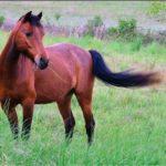 Бурая лошадка