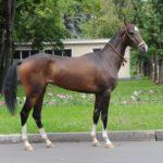 Лошадь гнедая