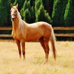 Насыщенный песочный оттенок шерсти лошади