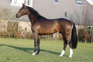 Голландский конь