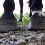 Черные копыта лошади